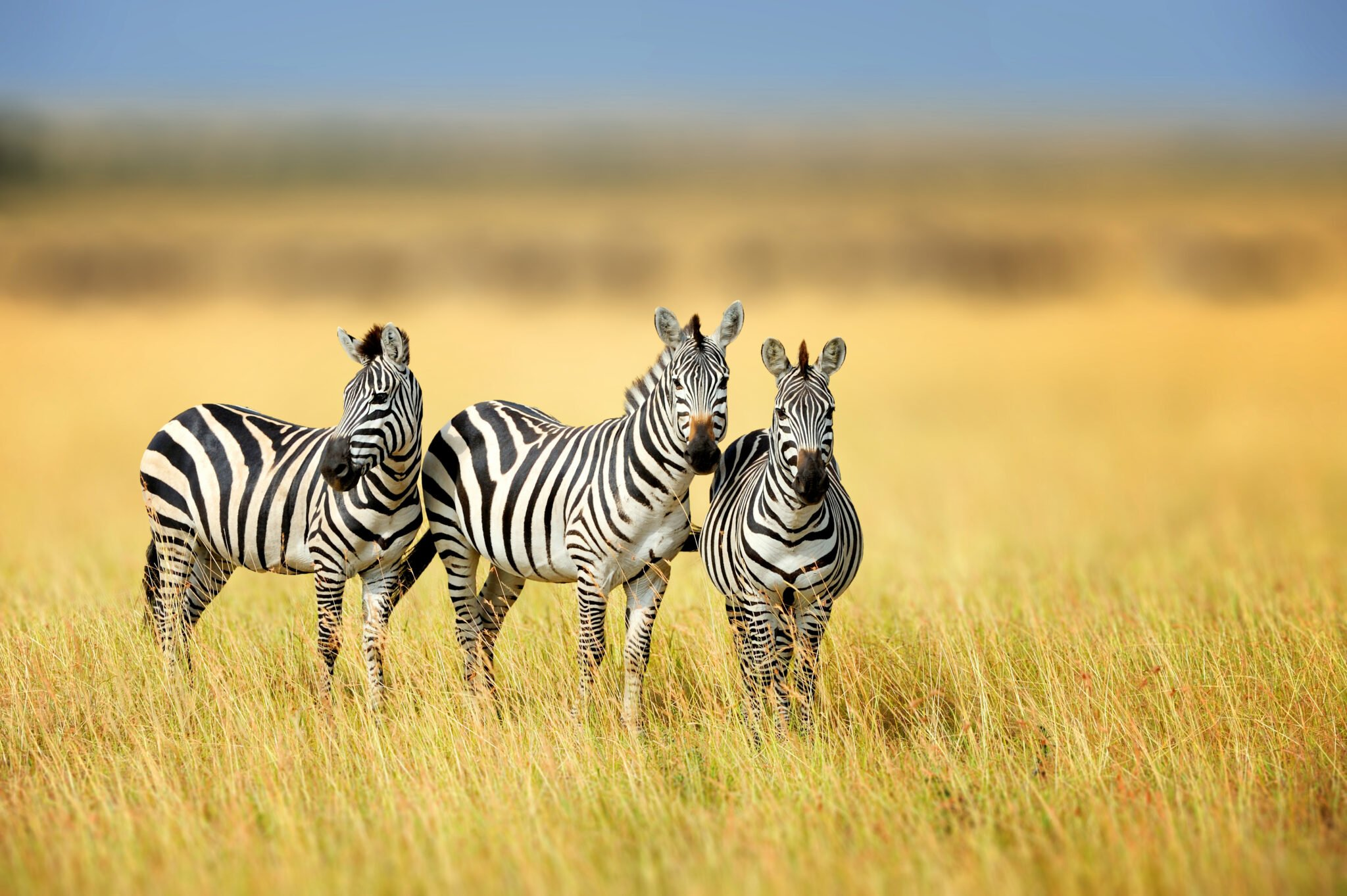 Zebra - Species