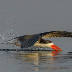 African-Skimmer-scaled.jpg
