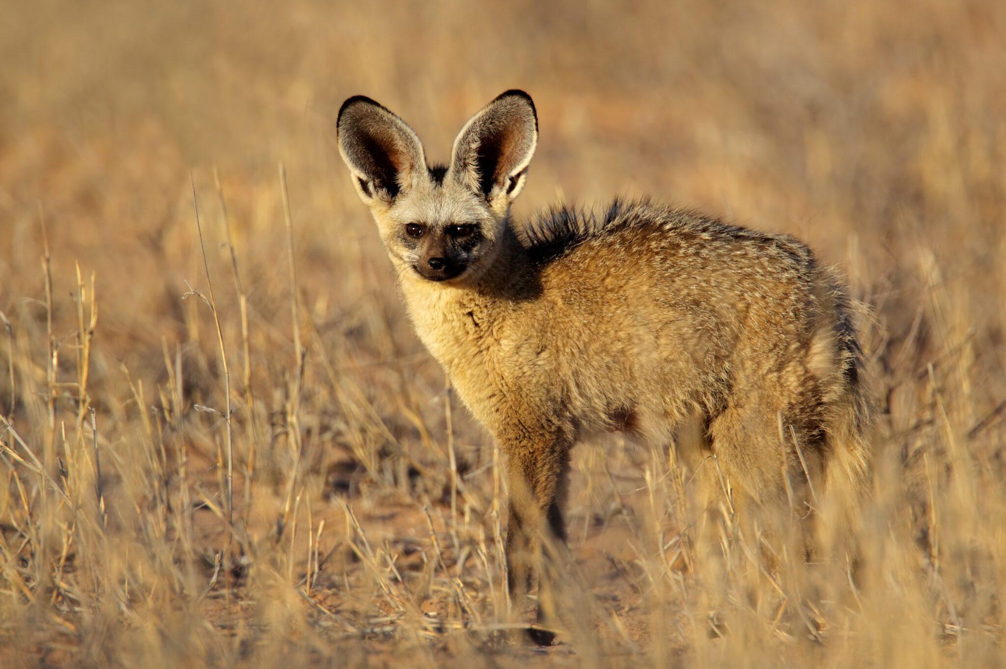 Bat-eared-Fox-scaled.jpg