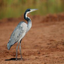 Black-Headed-Heron-scaled.jpg