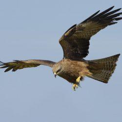 Black-Kite-scaled.jpg