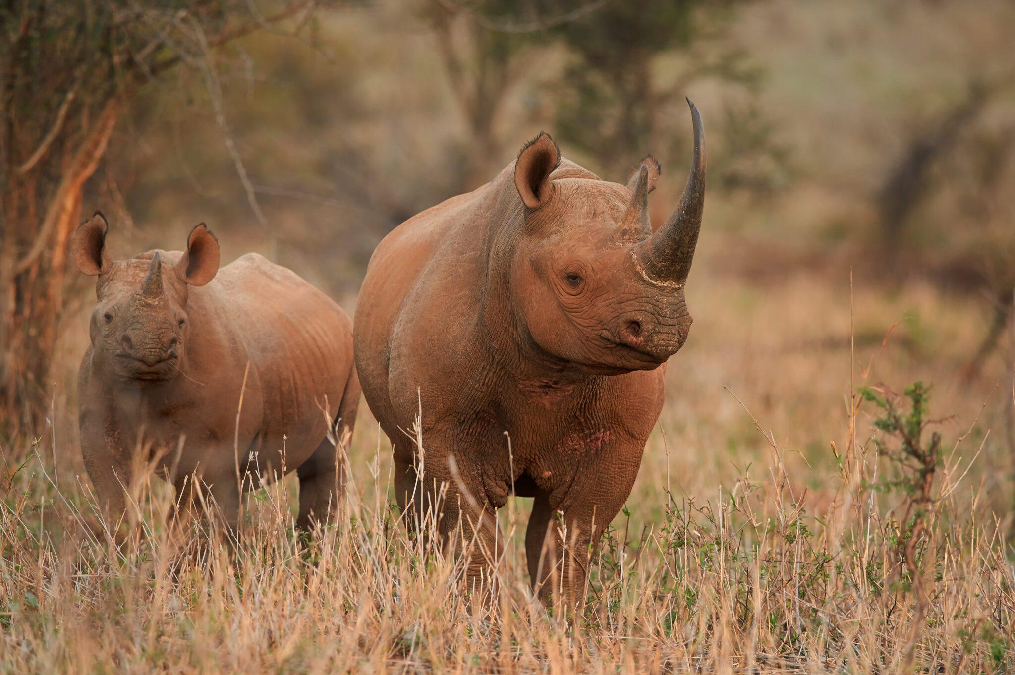 Black-Rhino-scaled.jpg