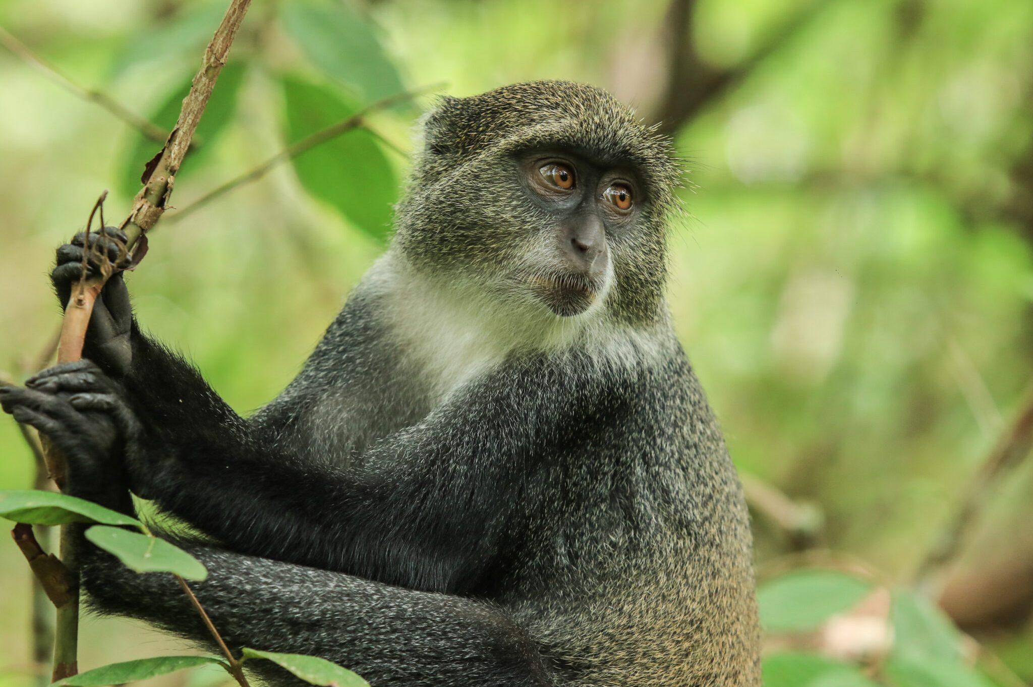 Blue-Monkey-scaled.jpg