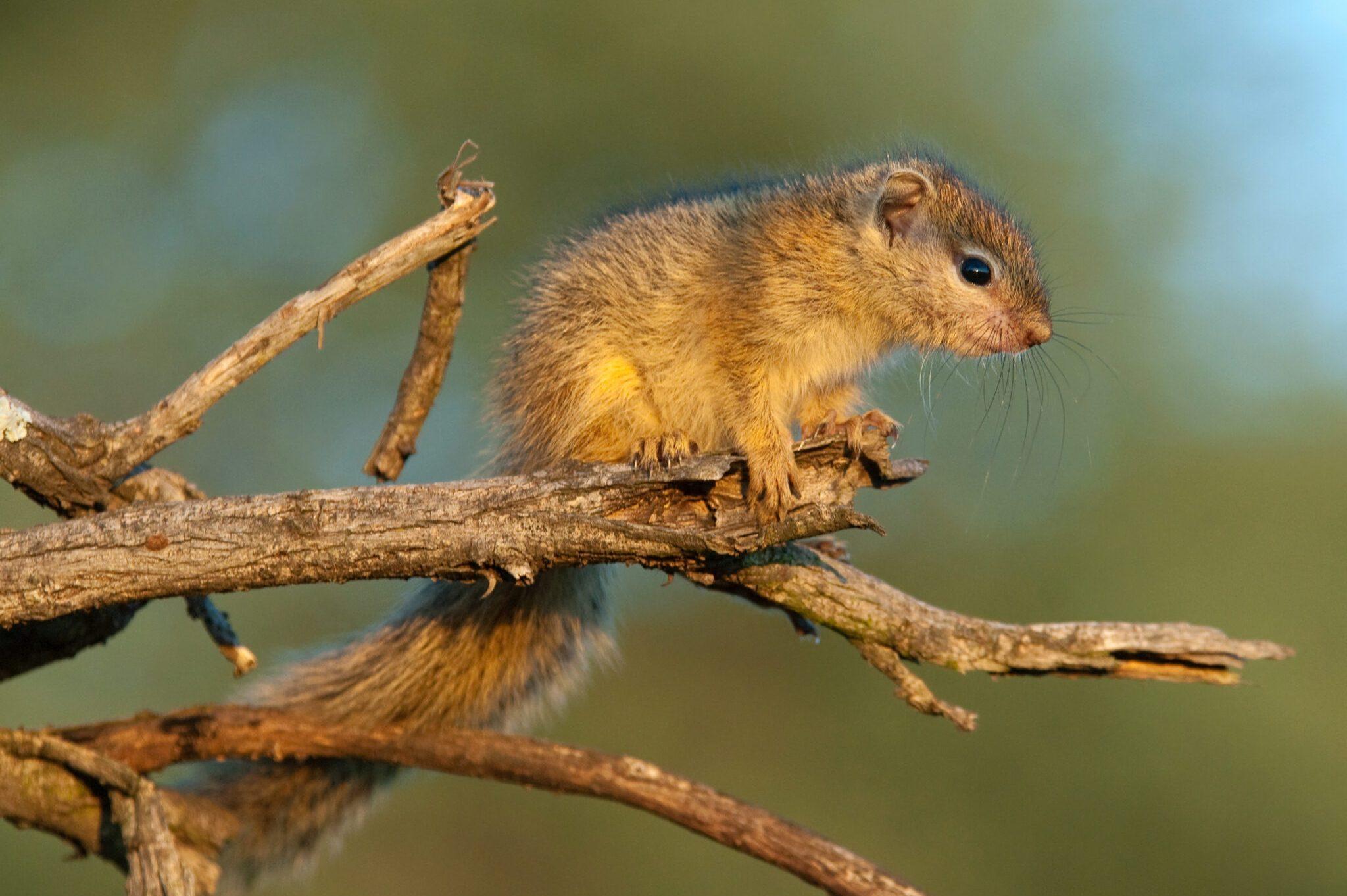 Bush-Squirrel-scaled.jpg