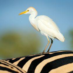 Cattle-Egret-scaled.jpg