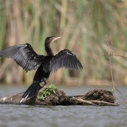 Cormorant-scaled.jpg