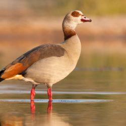 Egyptian-Goose-scaled.jpg
