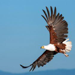 Fish-Eagle-scaled.jpg