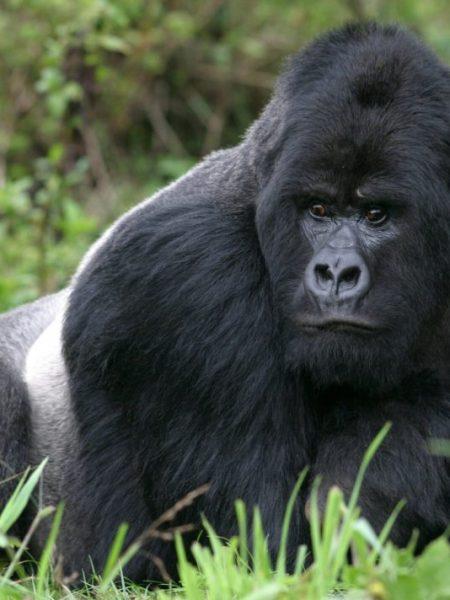 Rwanda Gorilla Trek  5 Days