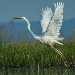 Great-White-Egret-scaled.jpg