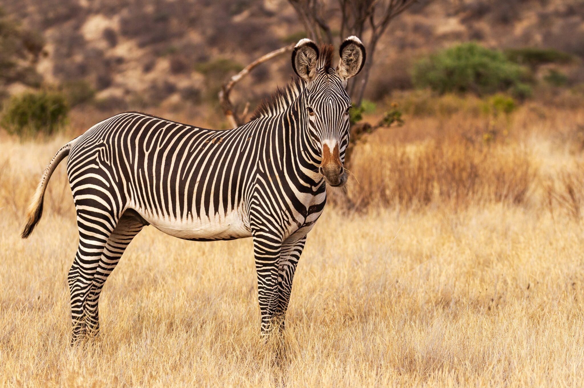 Grevys-Zebra-scaled.jpg
