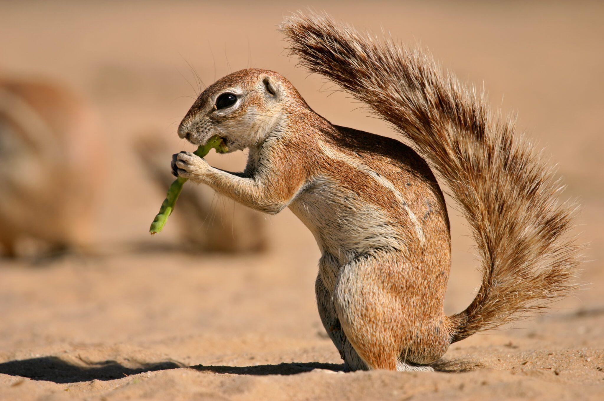 Ground-Squirrel-scaled.jpg
