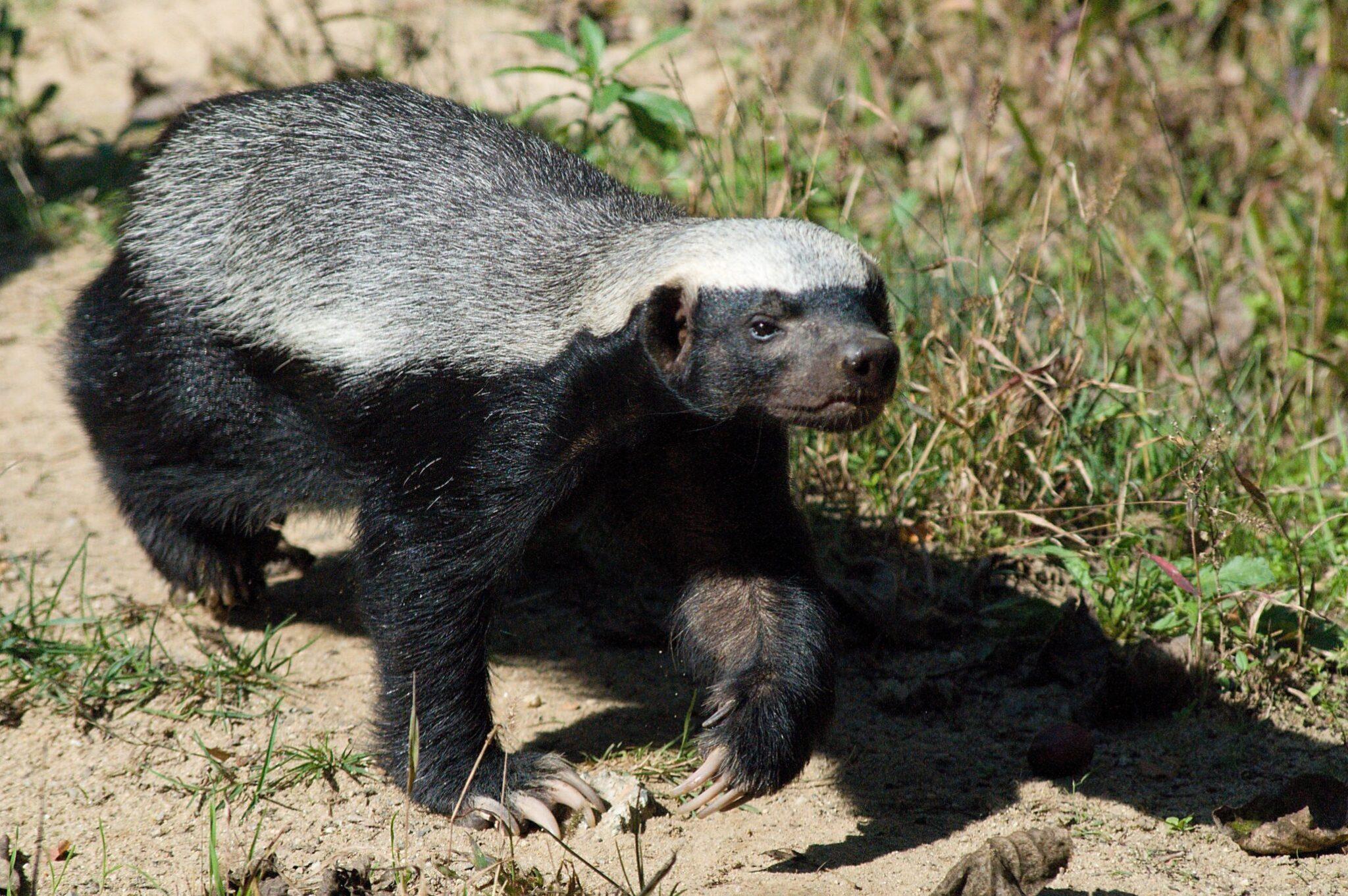 Honey-Badger-scaled.jpg