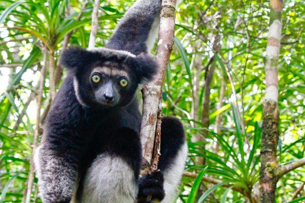 Indi Indri