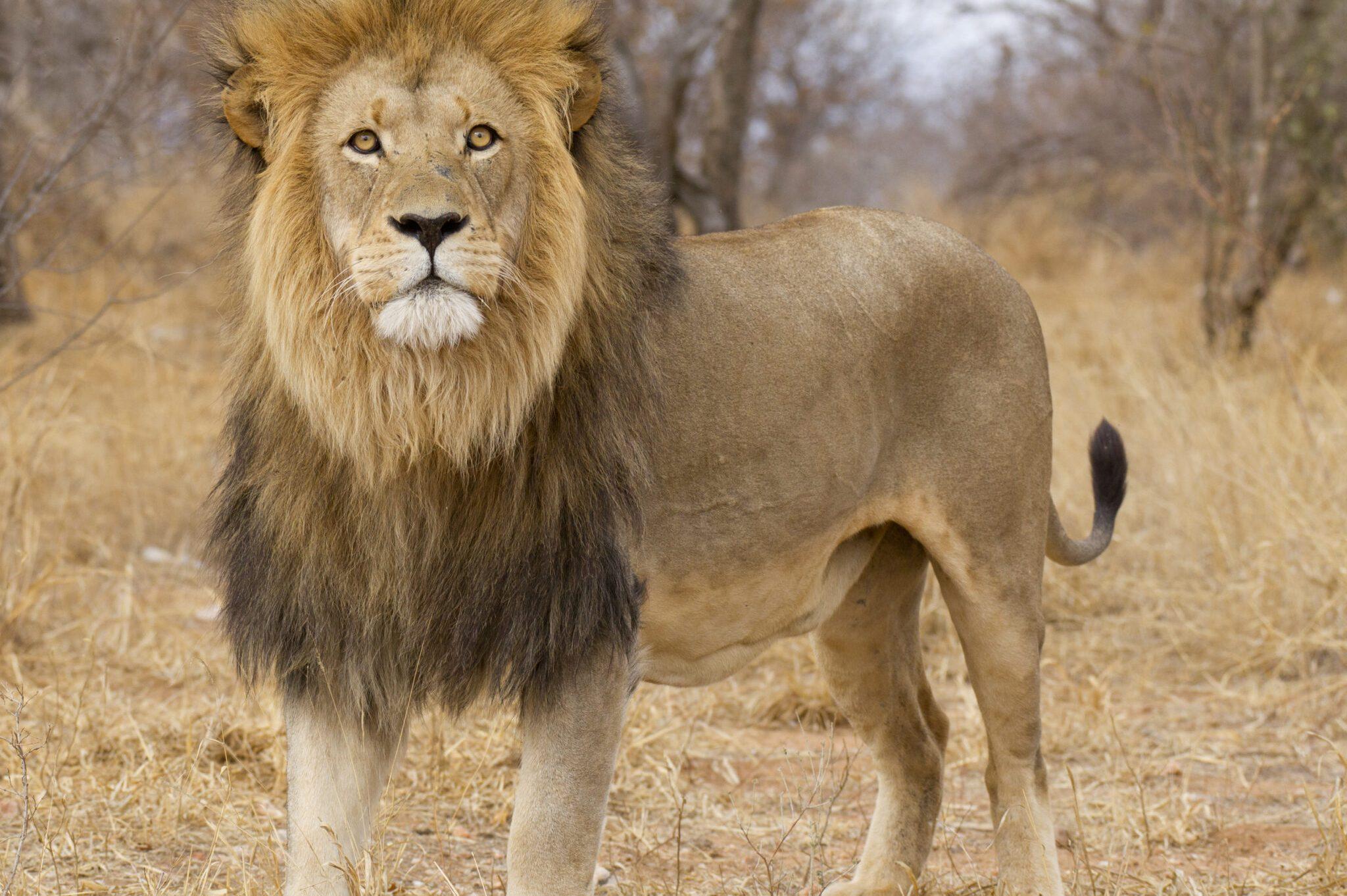 Lion-scaled.jpg