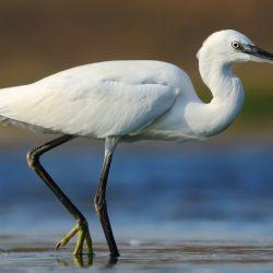 Little-Egret-scaled.jpg