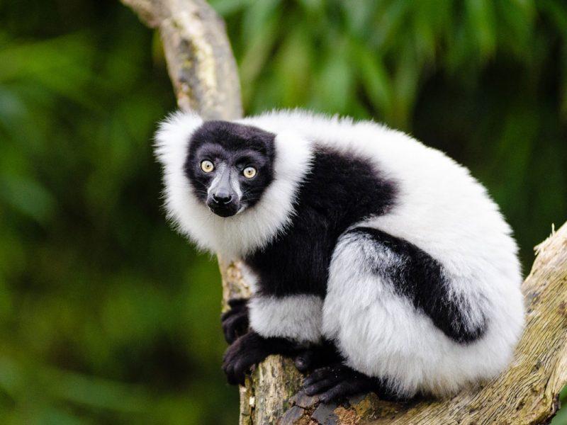 MD- Black and White Lemur
