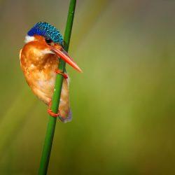 Malacite-Kingfisher-scaled.jpg