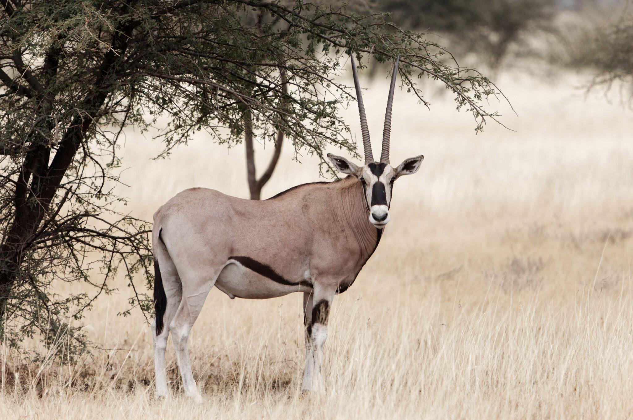 Oryx2-scaled.jpg