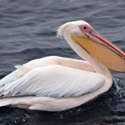 Pelican-scaled.jpg