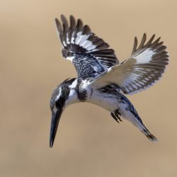 Pied-Kingfisher-scaled.jpg