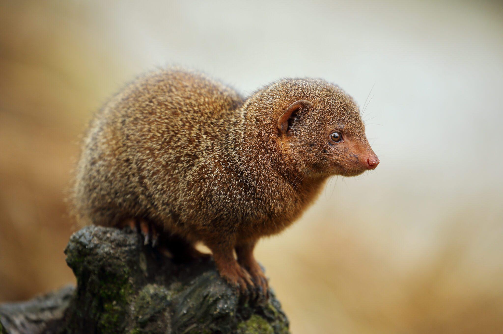Pymy-Mongoose-scaled.jpg