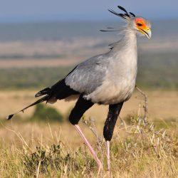 Secretary-Bird-scaled.jpg