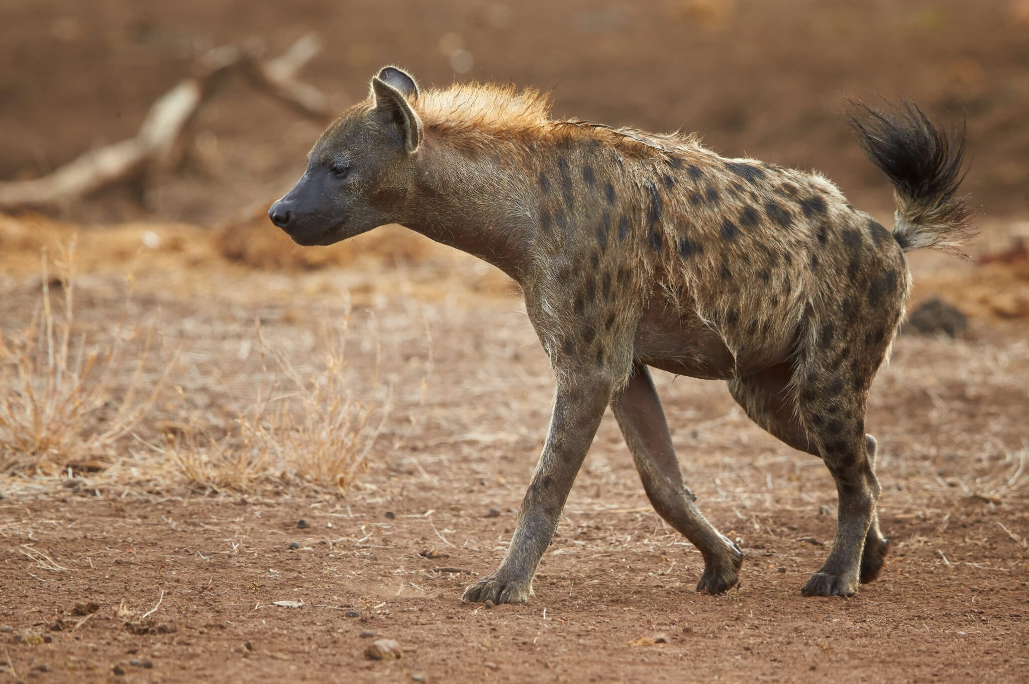 Spotted-Hyena2-scaled.jpg
