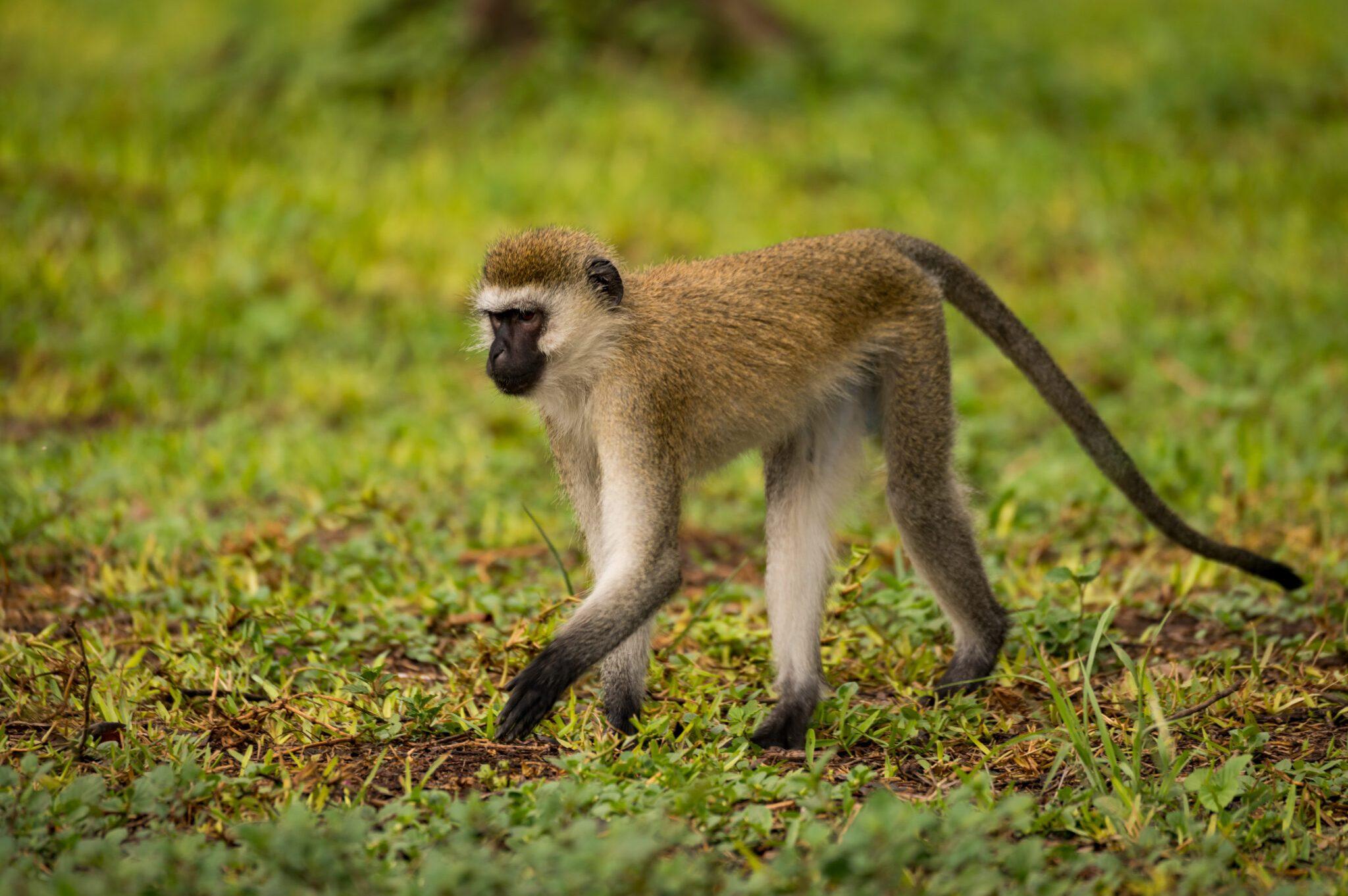 Vervet-Monkey-scaled.jpg
