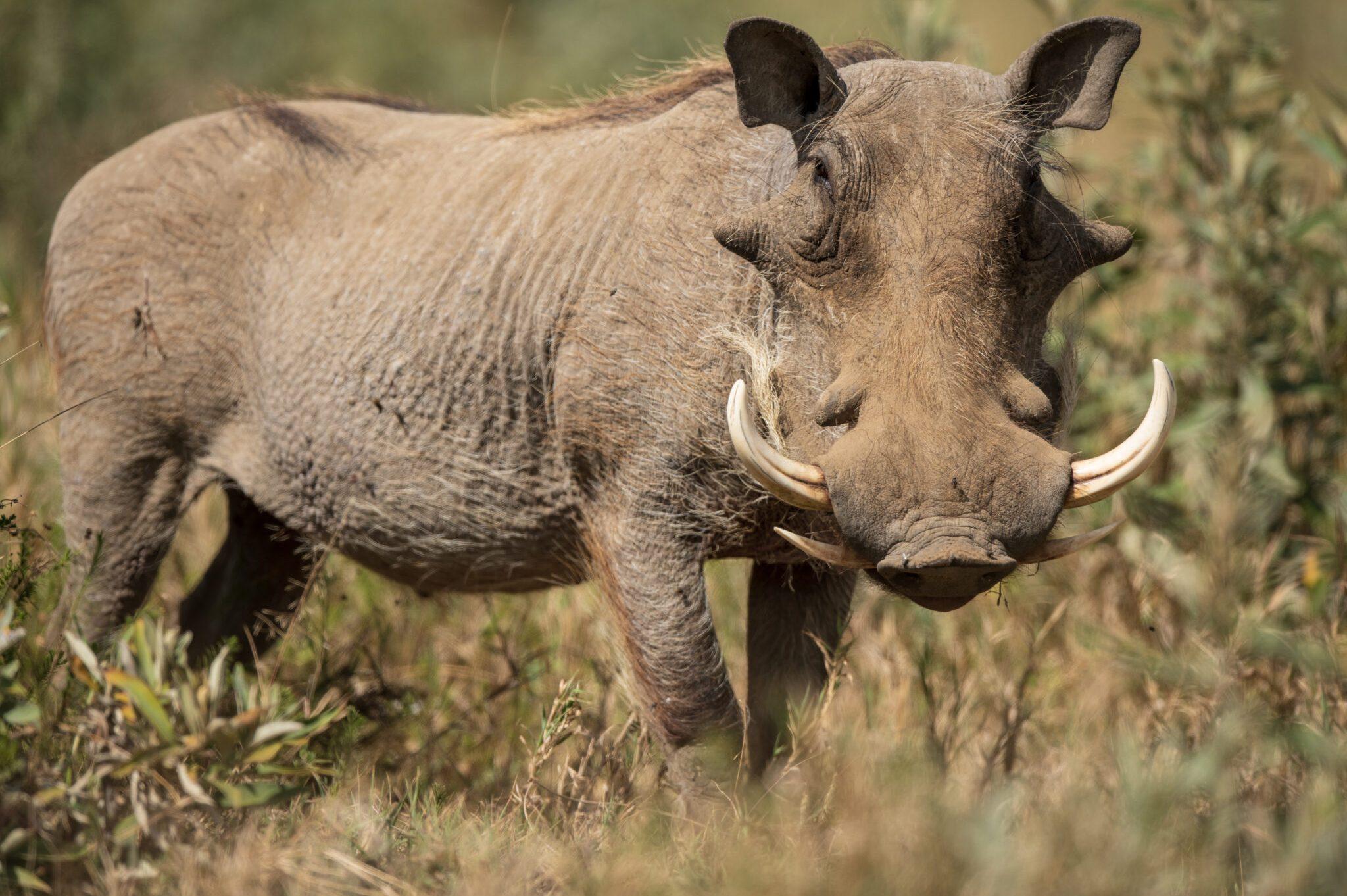 Warthog-scaled.jpg