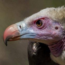White-Headed-Vulture-scaled.jpg