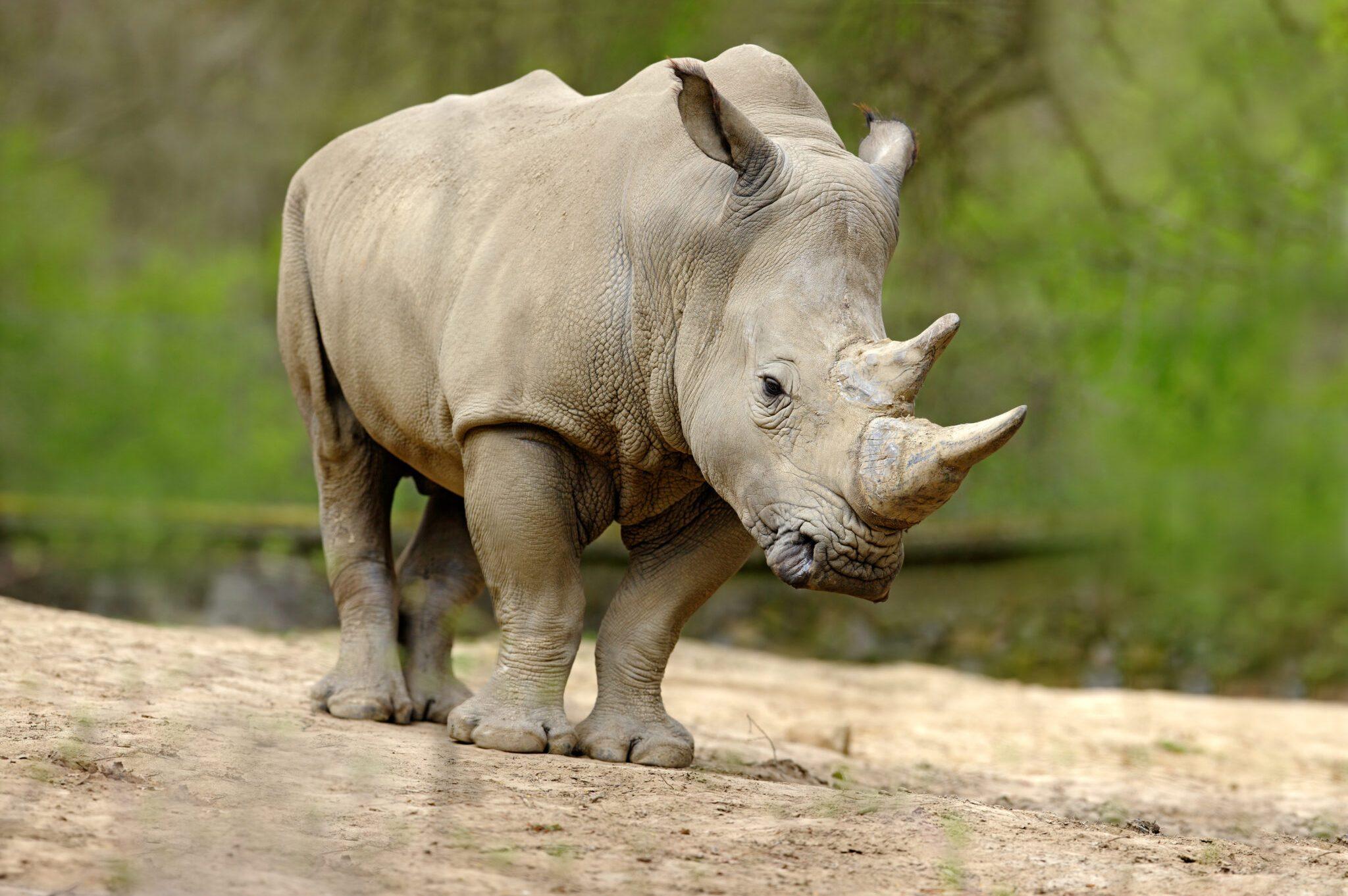 White-Rhino-scaled.jpg
