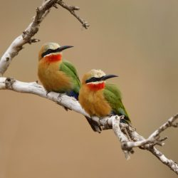 White-fronted-Bee-eater-scaled.jpg