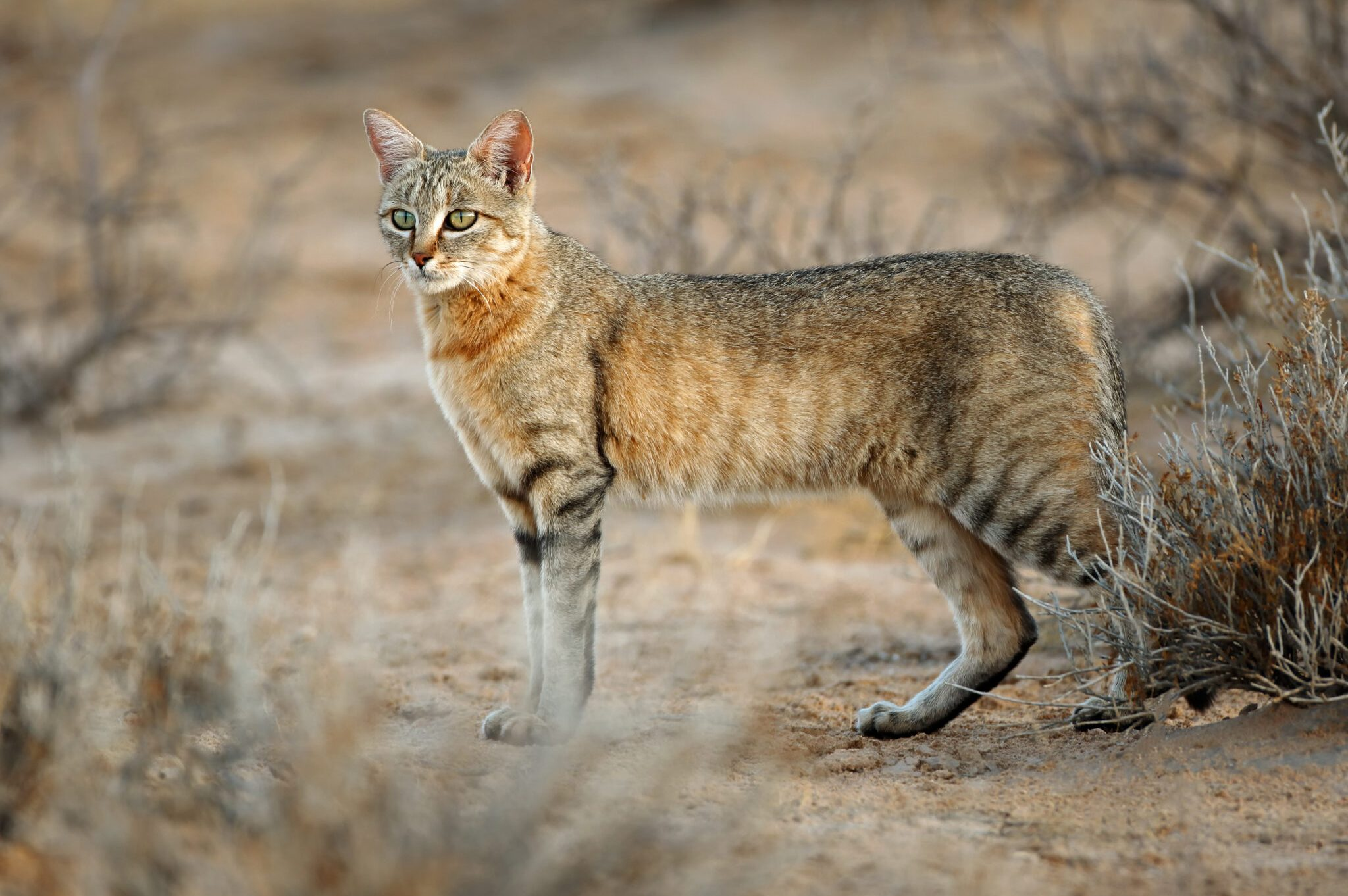 Wild-Cat-scaled.jpg
