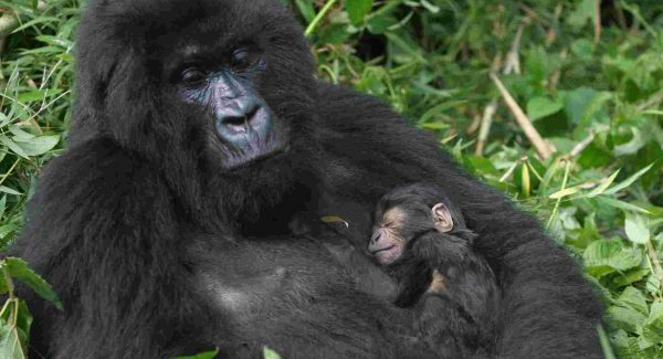 Rwanda Gorilla Trek - 5 Days